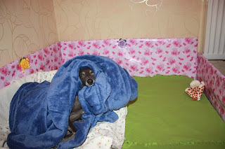 STUPOR MUNDI Italian Greyhound kennel