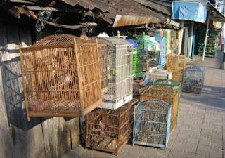 daftar harga burung berkicau bulan oktober nopember tips merawat sobat