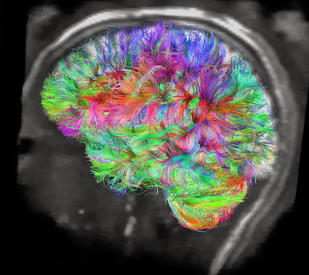 neural pathways Varying the phase of l and s showed that the induced color shifts were accounted  for by neural responses both from nearly independent l and s pathways and.