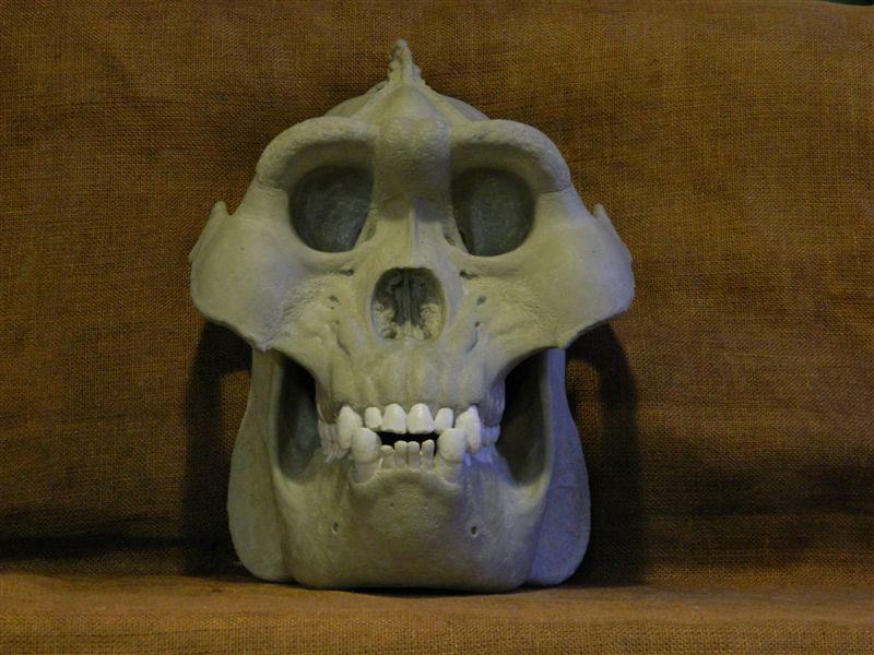 Gigantopithecus  Wikipedia