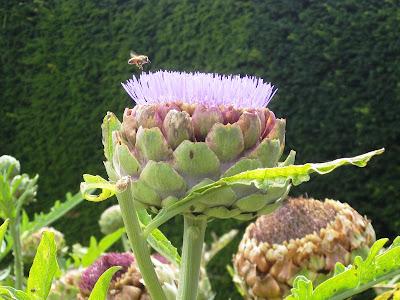 Artichoke flower with a bee just landing
