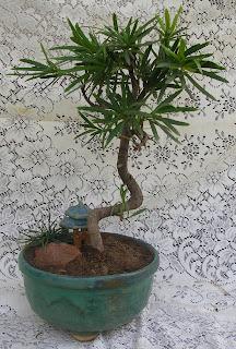 Podocarpus bonsai ahmedabad