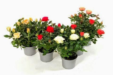 Giardinaggio laura ponte in valtellina rosa kordana for Roselline in vaso