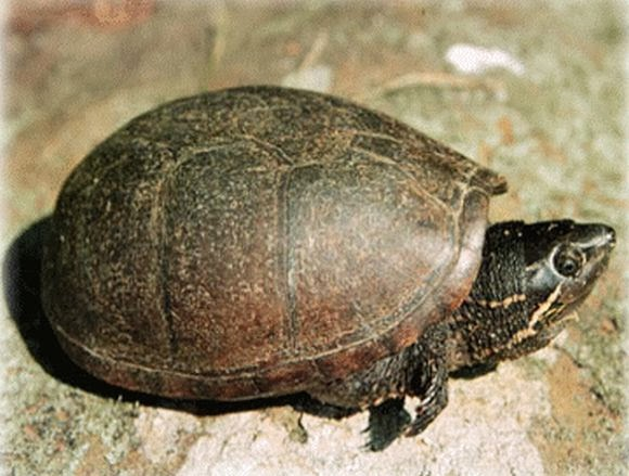the characteristics of the alligator snapping turtle The alligator snapping turtle (macrochelys  homing by sea turtles is dependent on imprinting of some chemical characteristics of the natal beach in the hatchling.