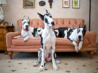Funny Dogs Great Dane
