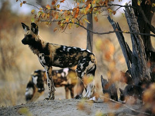 African painted dog and yellow leaves