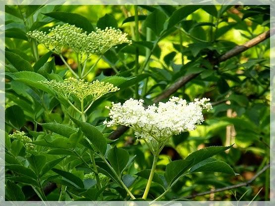Bodzafa virággal