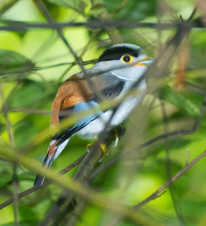 Silver-breasted Broadbill (Serilophus lunatus)