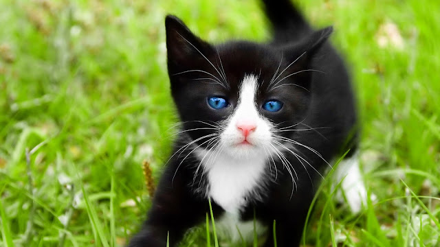 Black cat blue eyes 1080 Black Kitten with Blue Eyes
