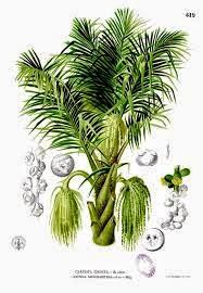 Kegunaan Pohon Aren