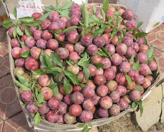 Plum - the typical taste of Bac Ha 1