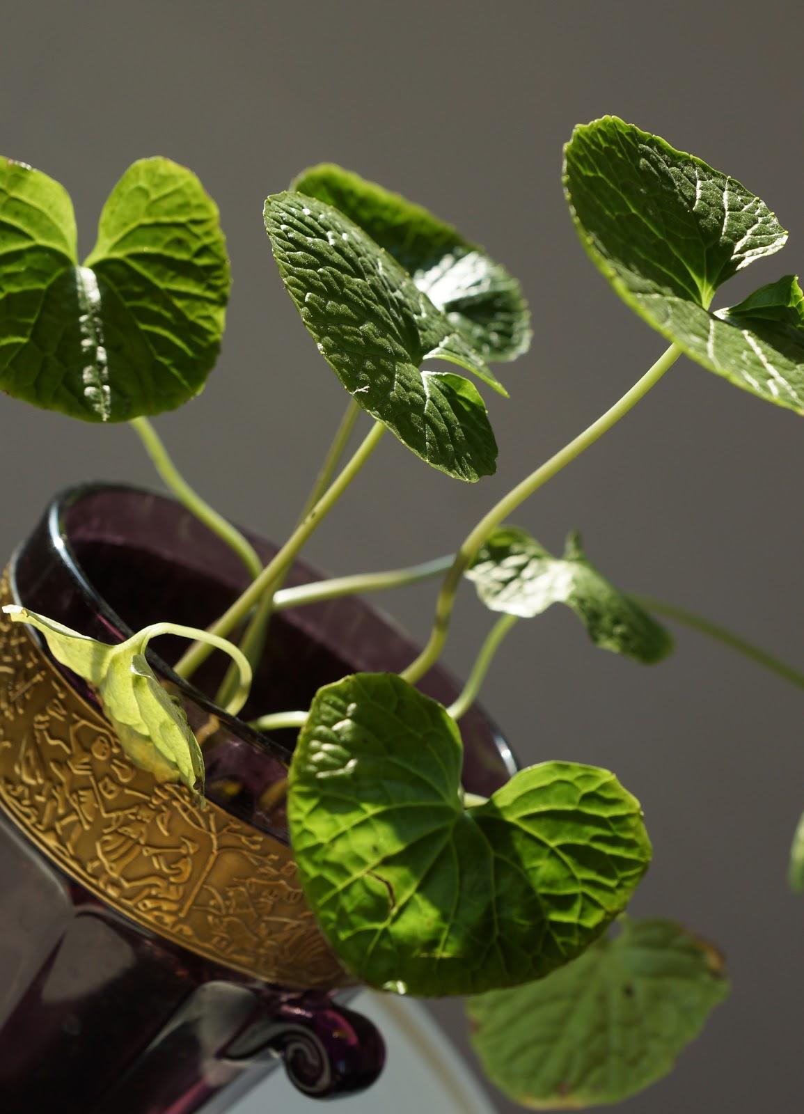 Fra fr til blomst wasabi plante for Plante wasabi