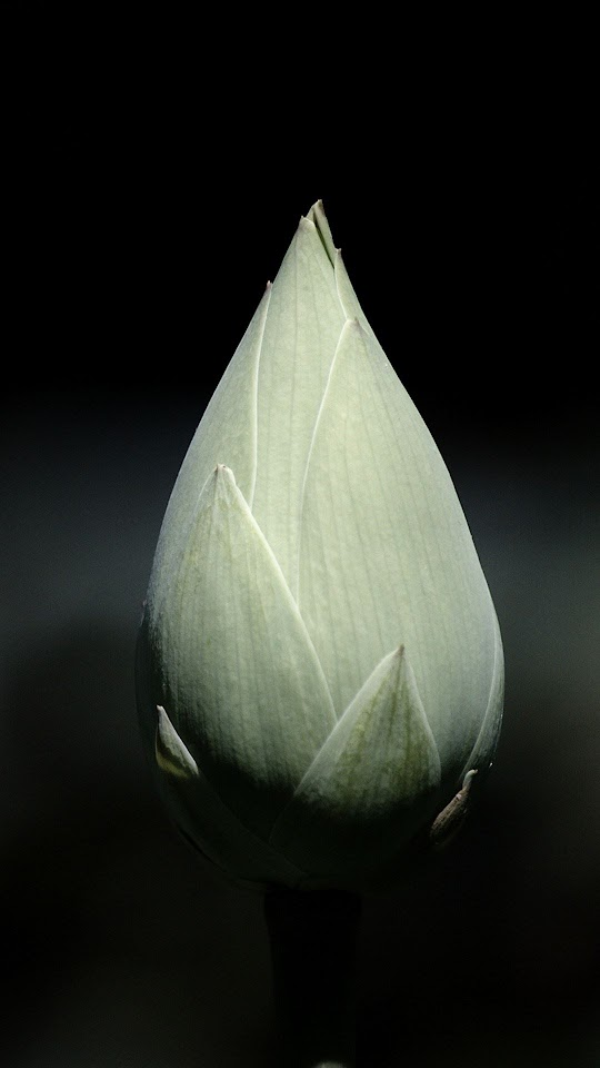 Gray Tulip Bulb Macro Black Background  Galaxy Note HD Wallpaper