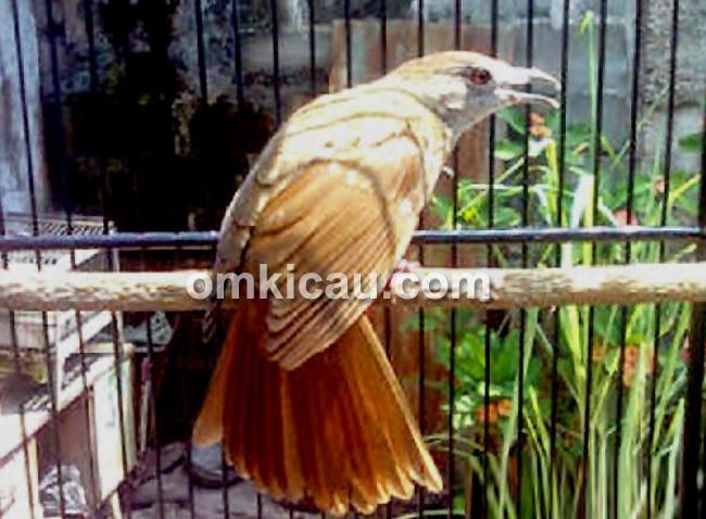 Gambar Cara Merawat Burung Kapasan