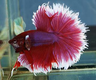 12 Type Of Betta Fish By Tail Types - Half Sun