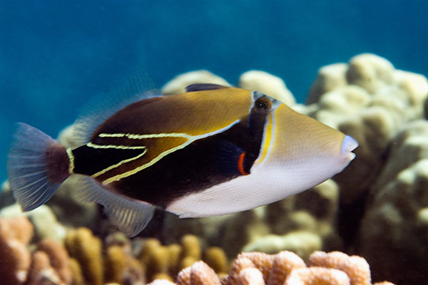 Info junction blog reef triggerfish for Hawaii state fish