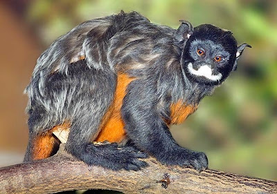 Red chested mustached Tamarin