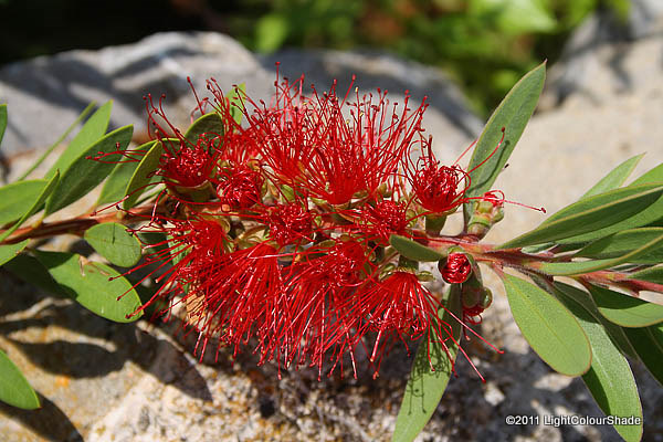 Pohutukawa Metrosideros excelsa flower close-up