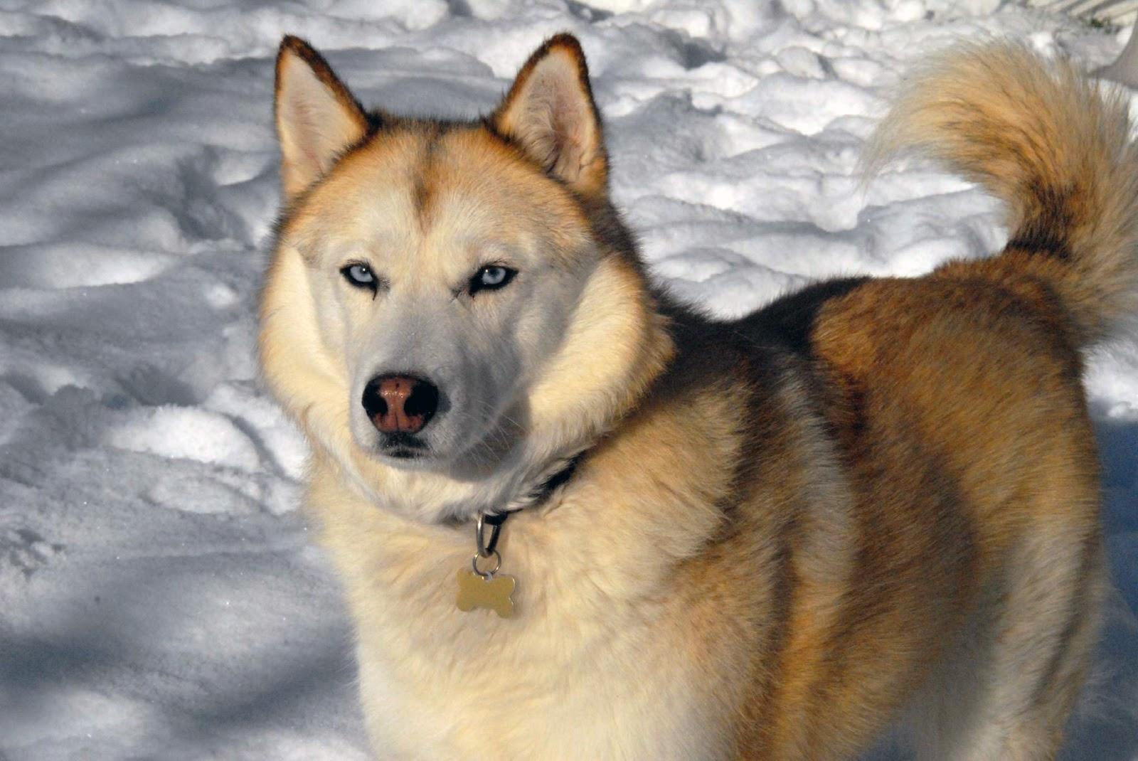 Alla ricerca del siberian husky colori del mantello nell 39 husky - Husky occhi diversi ...