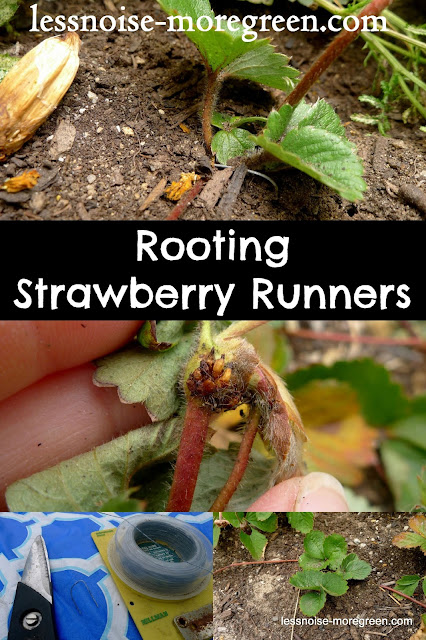 How to Root Strawberry Runners