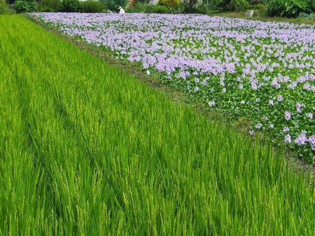 稲穂とホテイアオイ、長閑な風景。
