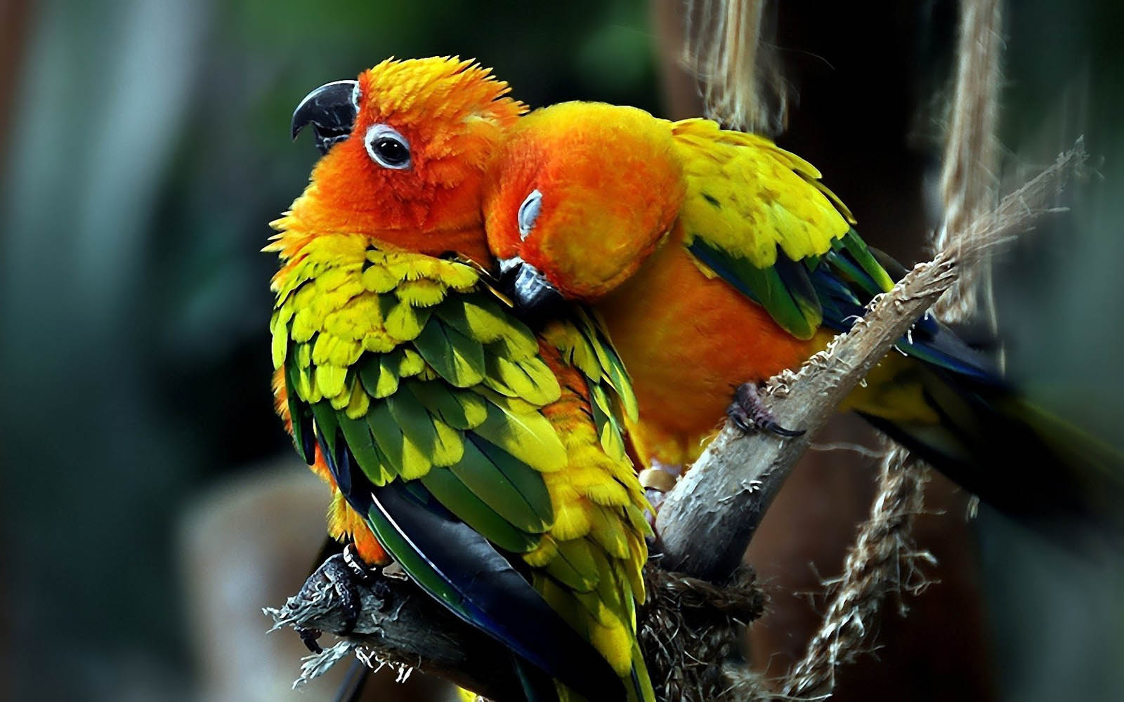 Love Birds Wallpaper In Hd : wallpapers: Love Birds Desktop Wallpapers