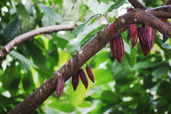 cocoa tree grenada