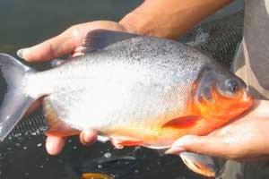 Cara Budidaya Ikan Bawal dengan teknologi Produk Organik NASA (PT. Natural Nusantara) | www.organiknusantara.com | Pemesanan Produk Organik NASA bisa menghubungi OrganikNusantara pesan 081804234864