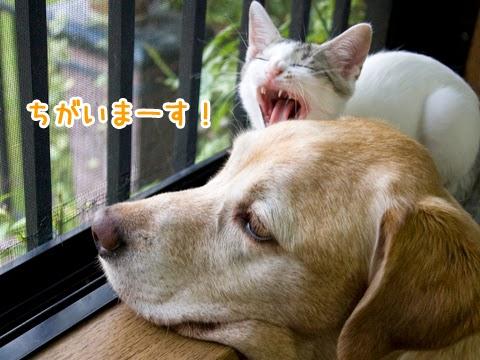 大型犬とくつろぐ子猫