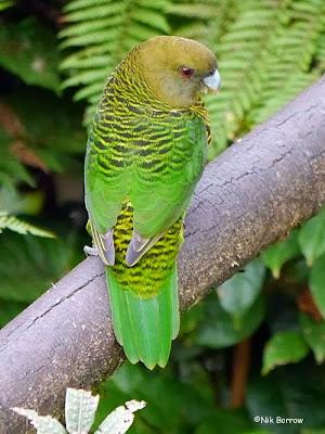 Brehm´s tiger parrot