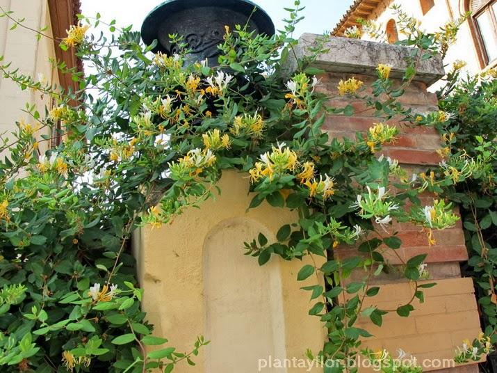 plantas y flores lonicera japonica