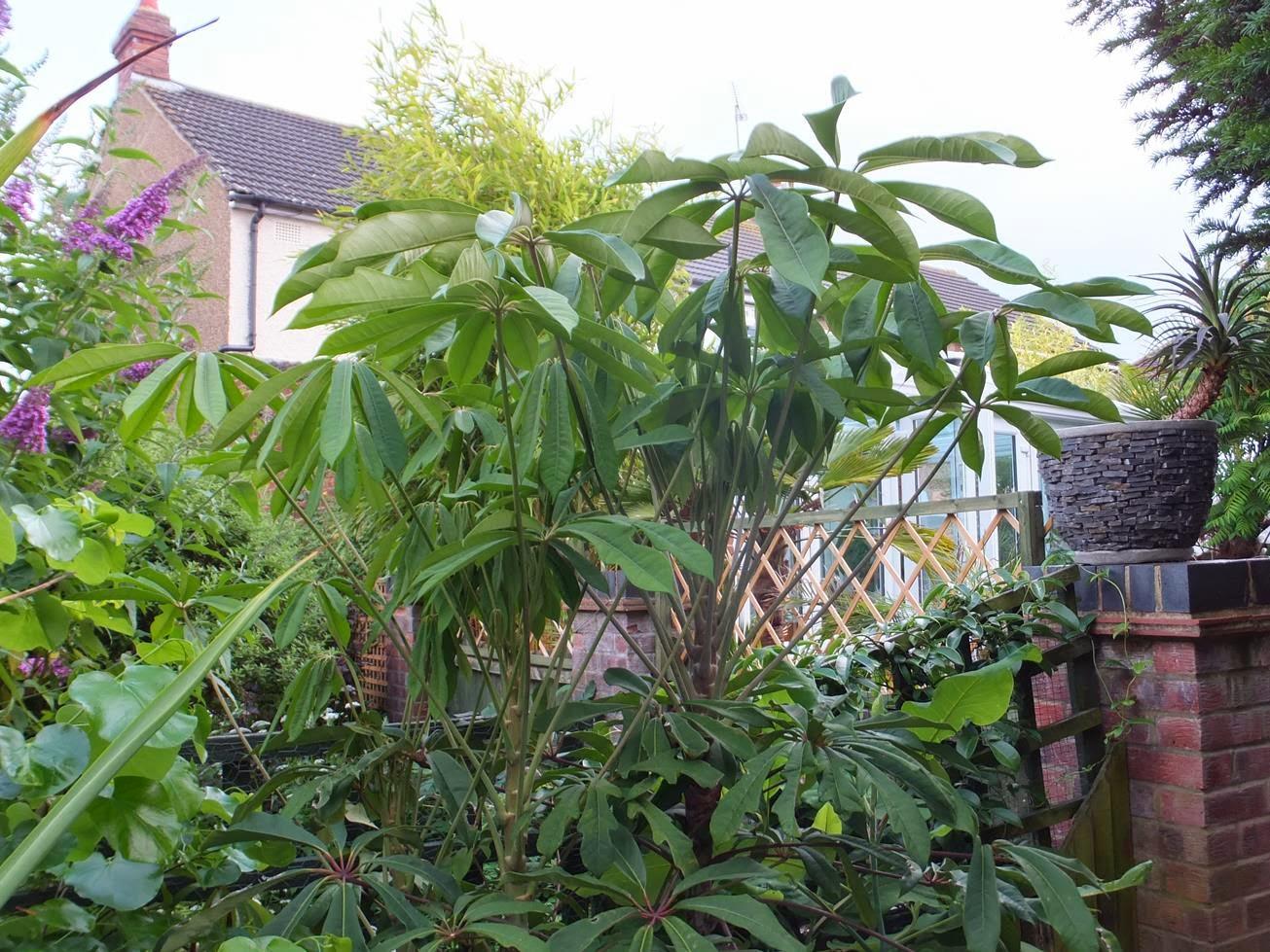 Schefflera rhododendrifolia (Garden House)