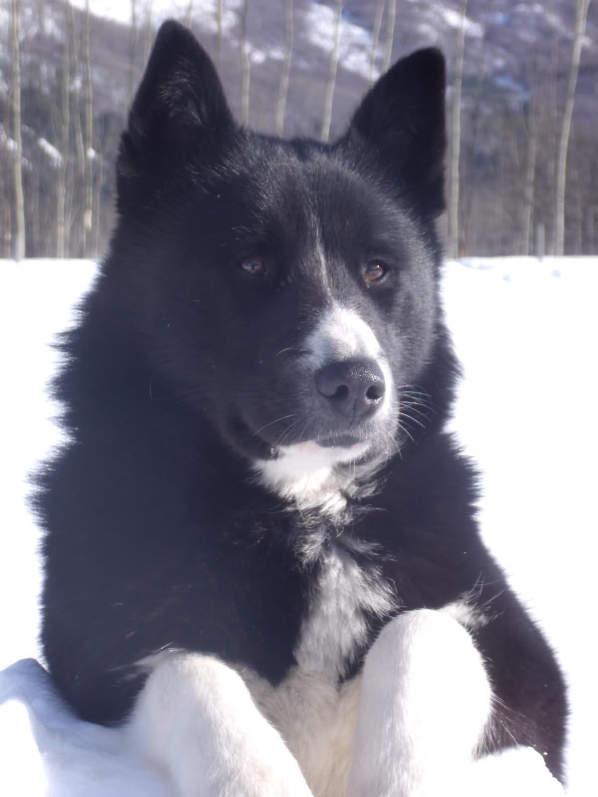Extreme Dog Breeds: Karelian Bear Dog