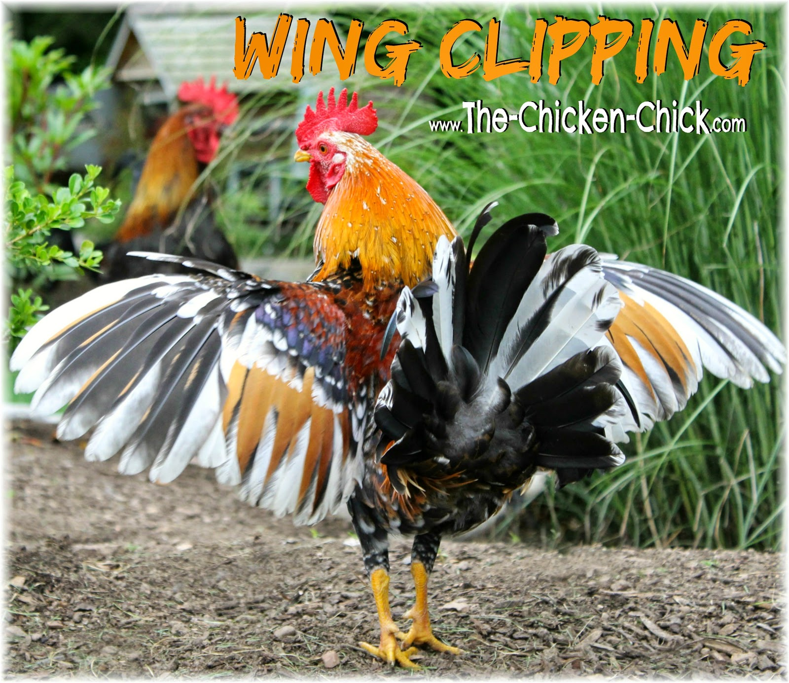 Whether to clip a chicken's wings should be carefully considered by weighing the pros and cons as the disadvantages are significant. When done properly, wing clipping is painless.