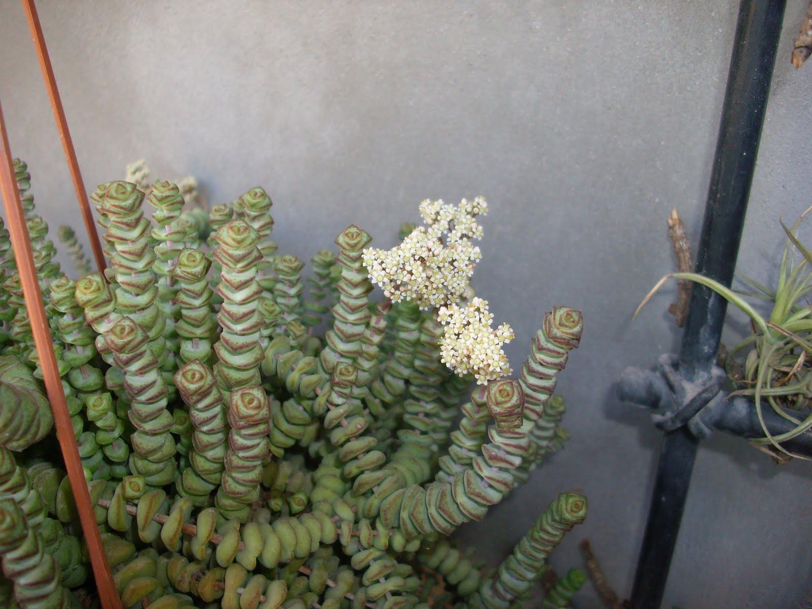 Mis cactus y crasas crassula marnieriana - Plantas crasas colgantes ...