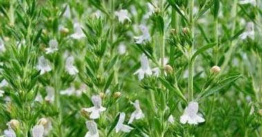 Collettivocontorti la santoreggia una pianta aromatica da scoprire