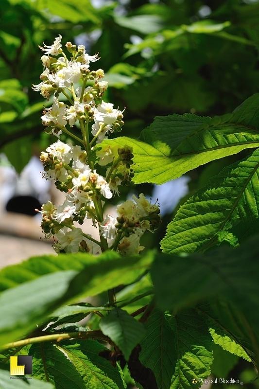 Fleurs de Marronnier photo pascal blachier