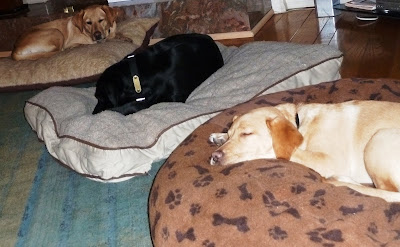 three Labs sleeping