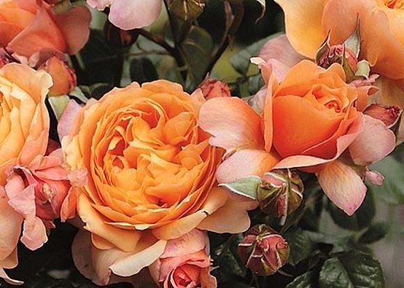 Capri rose сорт розы фото