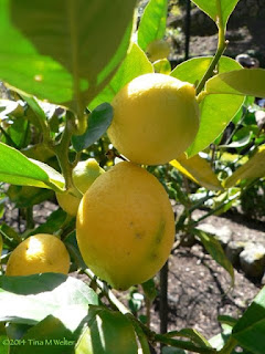 Springtime lemons! photo ©2014 Tina M Welter, Wellington Botanic garden, New Zealand