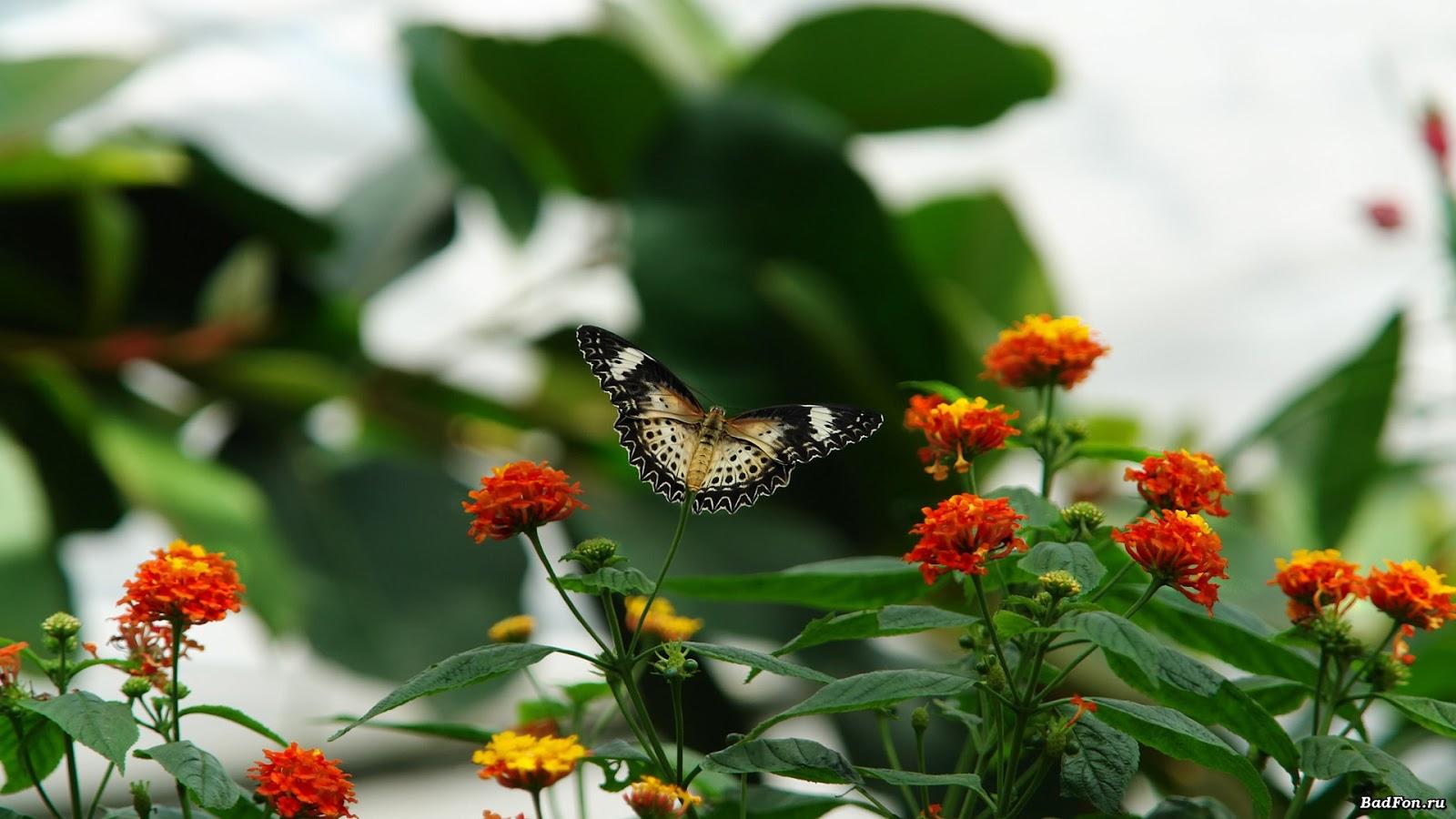 beautiful butterfly hd desktop - photo #24