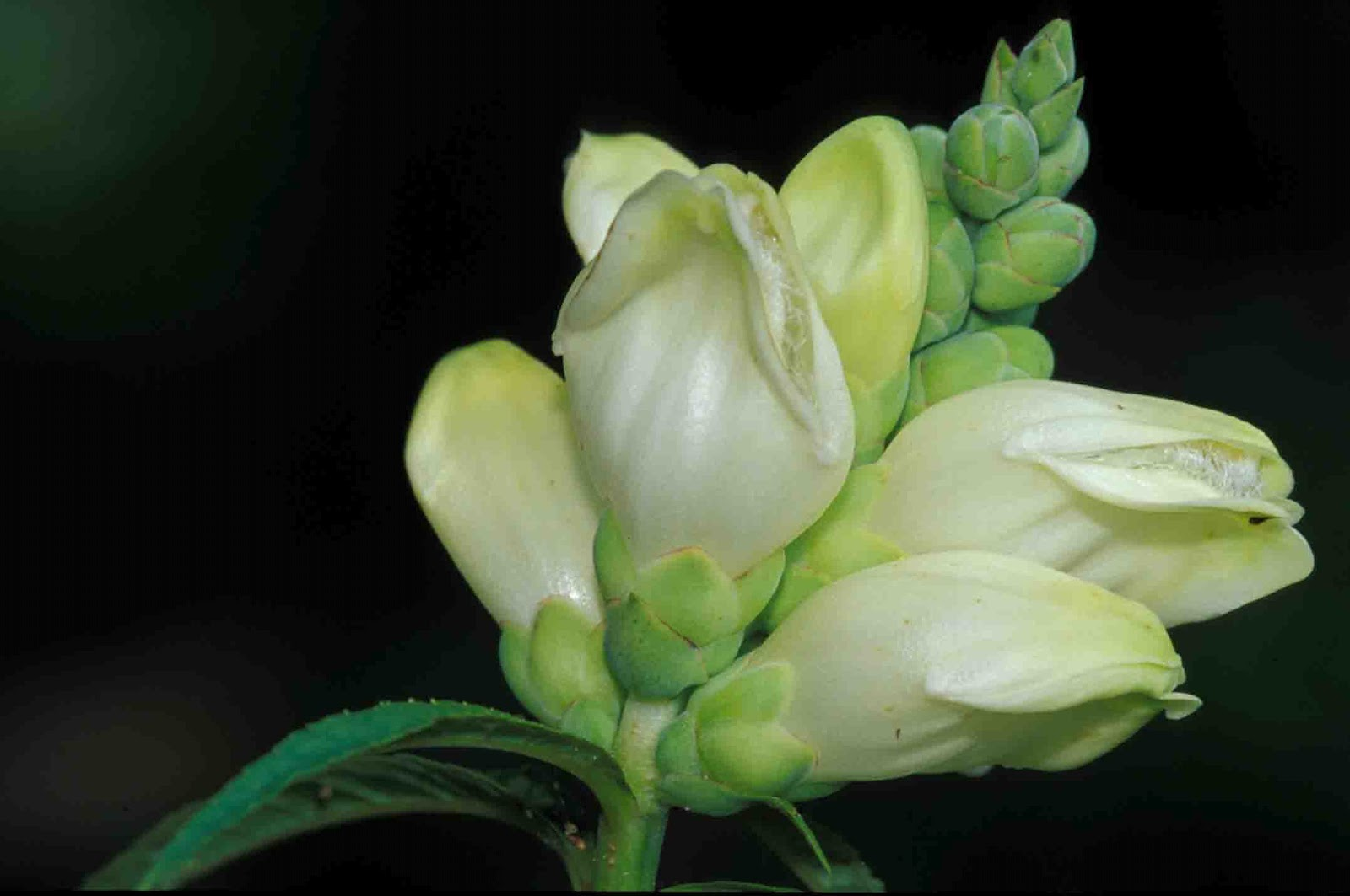 Kentucky Native Plant and Wildlife Plant of the Week White Turtlehead Chel