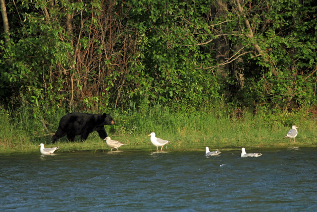 kenai river black bear