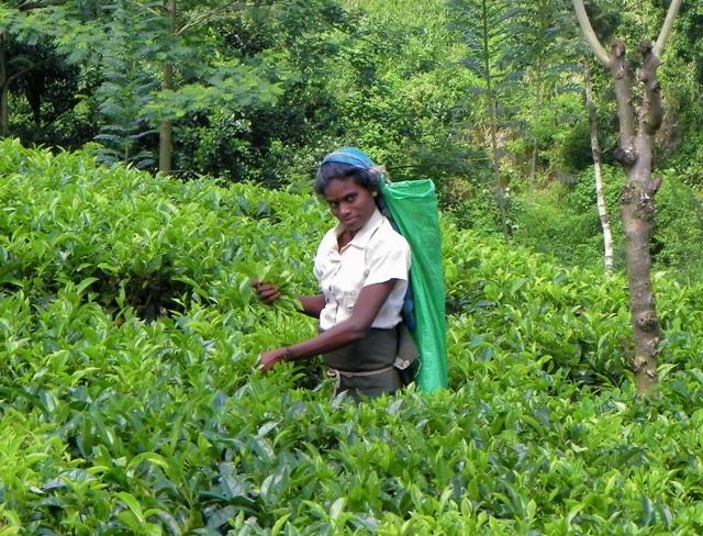 Plantaciones de Té en Sri Lanka, la mano que corta la hoja