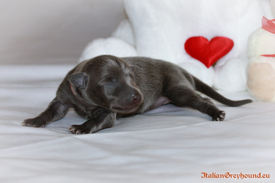 Italian Greyhounds Puppies kennel Stupor Mundi