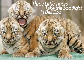 three little tigers take the spotlight in bali zoo bali