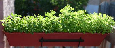 Hạt methi nảy mầm ăn như giá đậu, mù tạt