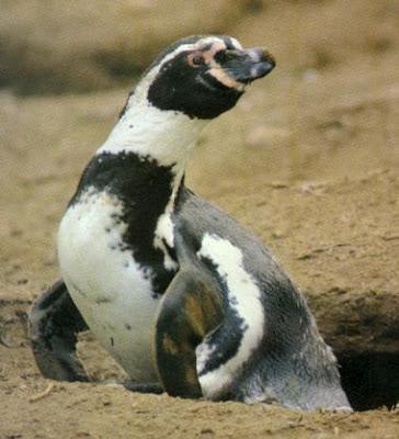 Pingüino saliendo de su nido