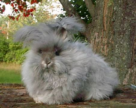 Angora Rabbit Is Cute ...