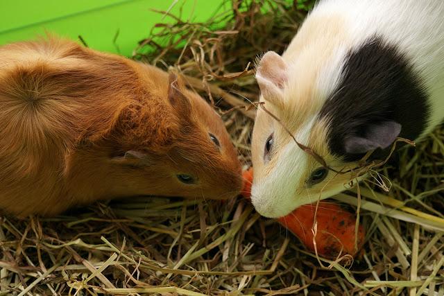 Морские свинки и морковь.
